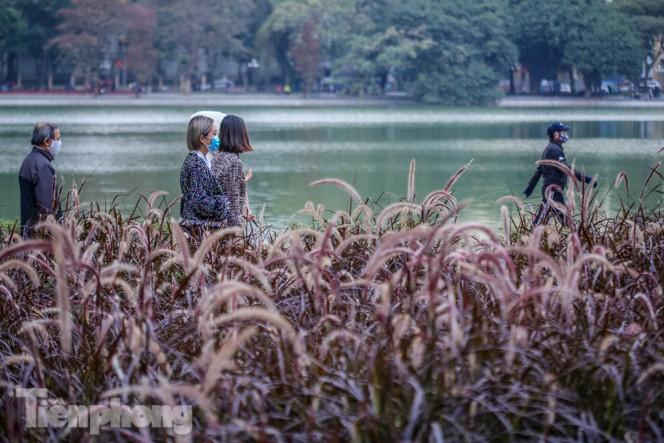 Ngất lịm trước cỏ lau màu tím bên bờ hồ Hoàn Kiếm - ảnh 6