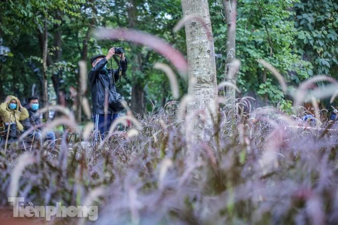 Ngất lịm trước cỏ lau màu tím bên bờ hồ Hoàn Kiếm - ảnh 7