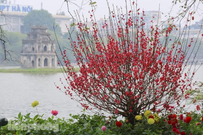 Đào bung sắc bên những thảm hoa rực rỡ quanh hồ Hoàn Kiếm ngày cận Tết - ảnh 10
