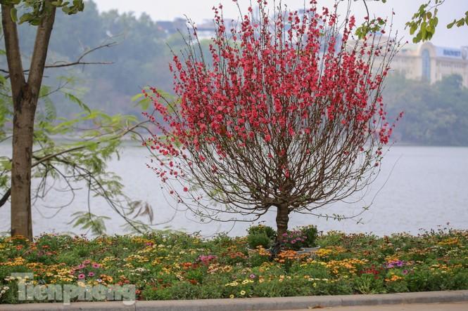 Đào bung sắc bên những thảm hoa rực rỡ quanh hồ Hoàn Kiếm ngày cận Tết - ảnh 12