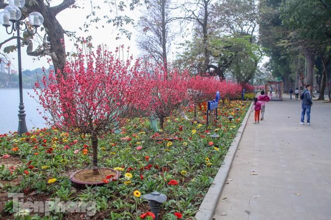 Đào bung sắc bên những thảm hoa rực rỡ quanh hồ Hoàn Kiếm ngày cận Tết - ảnh 1