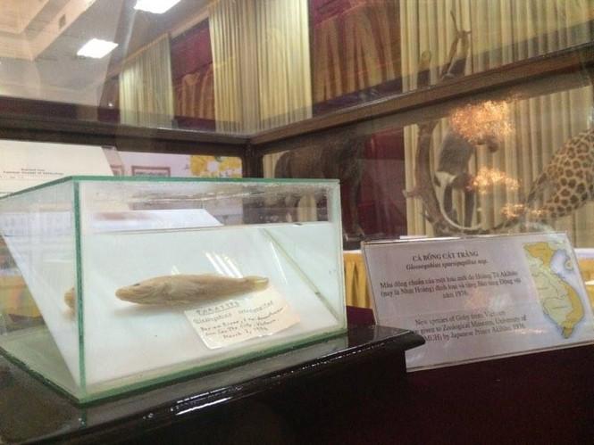 Cận cảnh tiêu bản cá bống trắng của Nhà vua Akihito tặng Việt Nam - ảnh 2