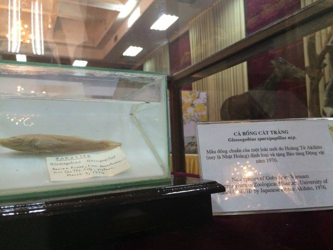 Cận cảnh tiêu bản cá bống trắng của Nhà vua Akihito tặng Việt Nam - ảnh 3
