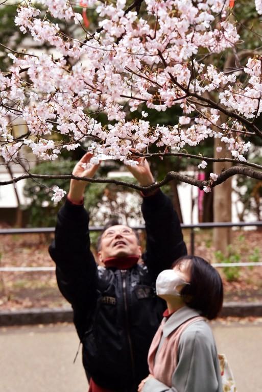 Ngắm vẻ đẹp rực rỡ của hoa anh đào Nhật Bản - ảnh 9
