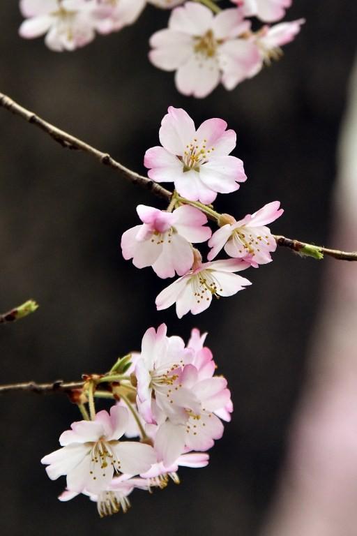 Ngắm vẻ đẹp rực rỡ của hoa anh đào Nhật Bản - ảnh 2