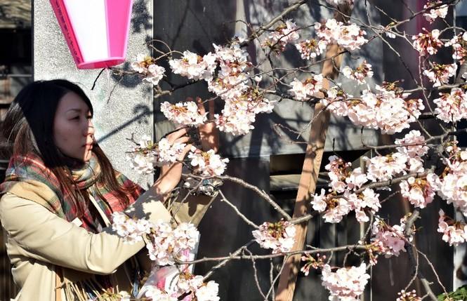 Ngắm vẻ đẹp rực rỡ của hoa anh đào Nhật Bản - ảnh 3