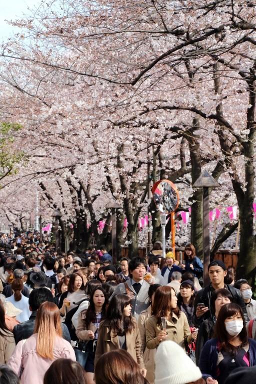 Ngắm vẻ đẹp rực rỡ của hoa anh đào Nhật Bản - ảnh 4