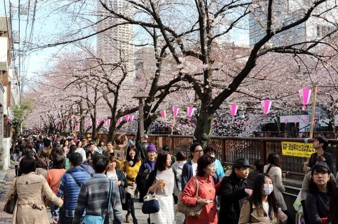 Ngắm vẻ đẹp rực rỡ của hoa anh đào Nhật Bản - ảnh 5