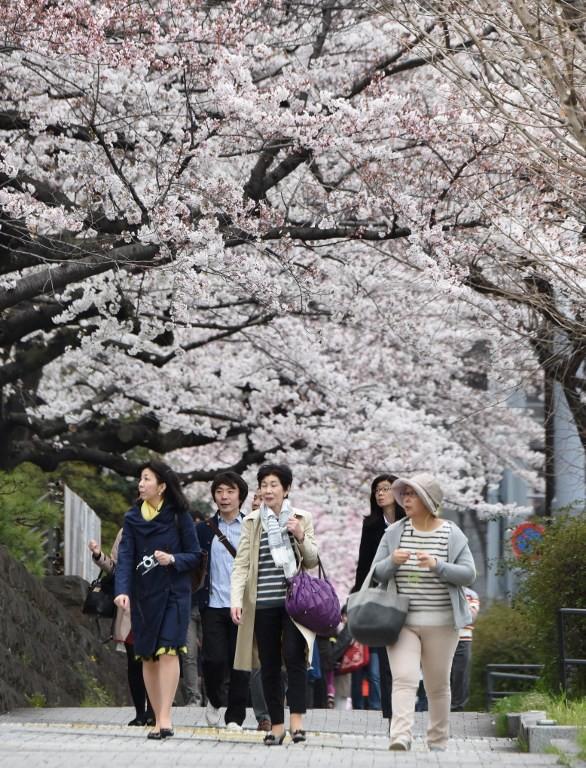 Ngắm vẻ đẹp rực rỡ của hoa anh đào Nhật Bản - ảnh 6