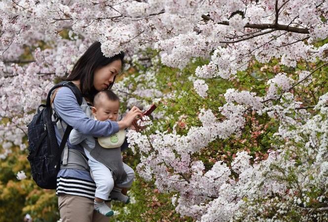 Ngắm vẻ đẹp rực rỡ của hoa anh đào Nhật Bản - ảnh 7