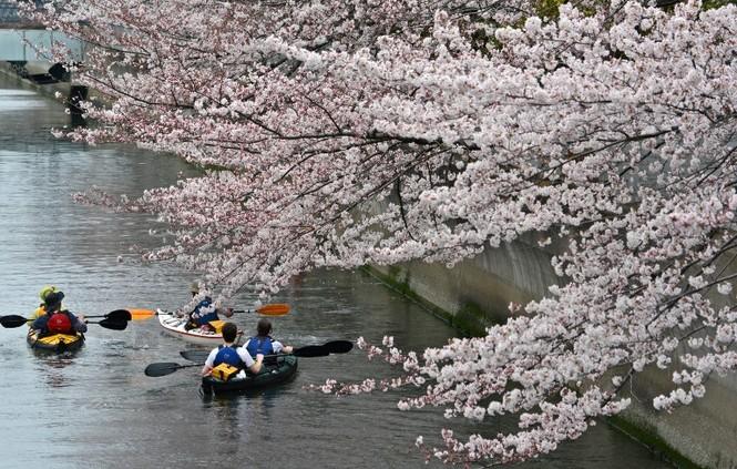 Ngắm vẻ đẹp rực rỡ của hoa anh đào Nhật Bản - ảnh 1