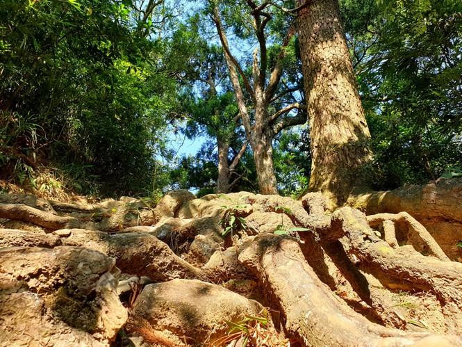 Độc đáo hàng cây trồng cổ nhất Việt Nam giữa non thiêng Yên Tử - ảnh 6