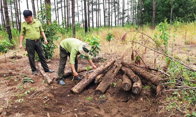 200 ha rừng ở Lâm Đồng bị phá nát, ai tiếp tay? - ảnh 1