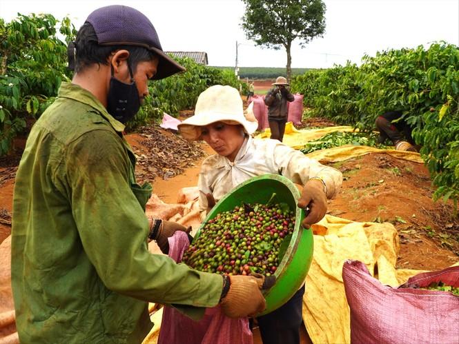 Tây Nguyên: Cà phê chín đỏ vườn, người hái thuê lắc đầu bỏ đi - ảnh 1
