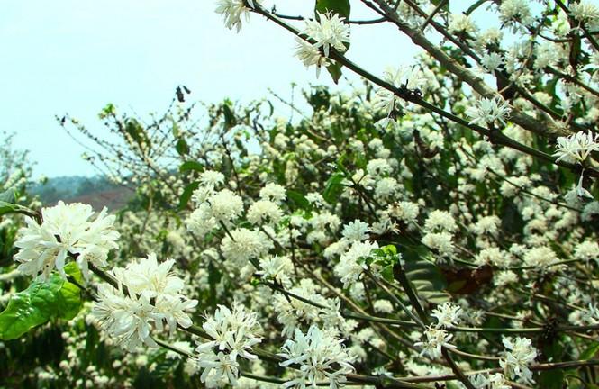 Ngỡ ngàng mùa hoa cà phê nở trắng trời giữa Tết - ảnh 5