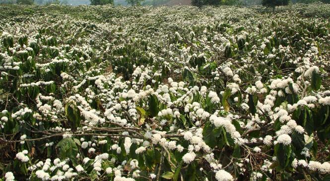 Ngỡ ngàng mùa hoa cà phê nở trắng trời giữa Tết - ảnh 3