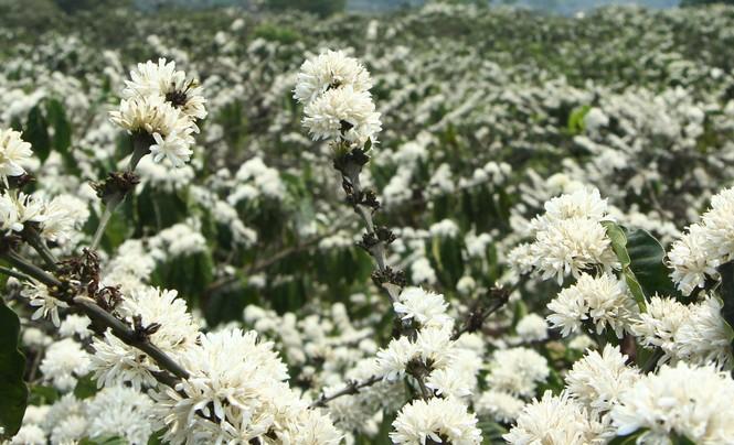 Ngỡ ngàng mùa hoa cà phê nở trắng trời giữa Tết - ảnh 2