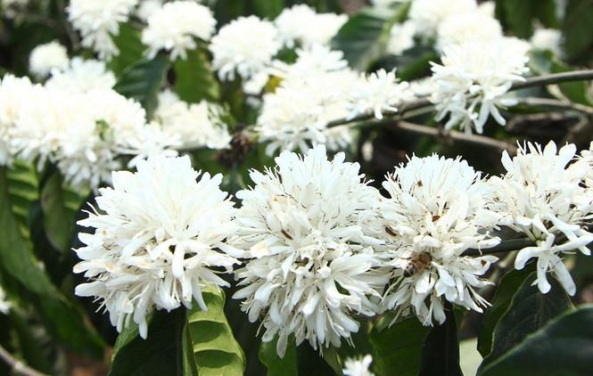 Ngỡ ngàng mùa hoa cà phê nở trắng trời giữa Tết - ảnh 1