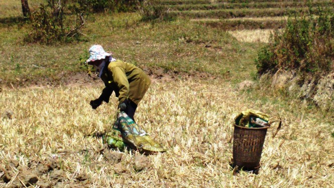 Người dân vùng sâu tăng thu nhập từ nghề nhặt phân bò - ảnh 4