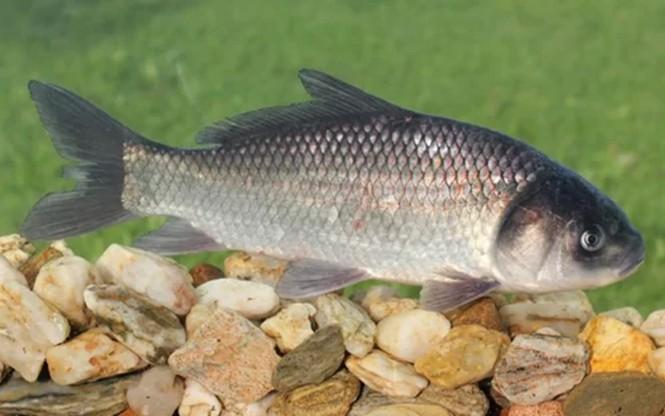 Phát hiện cá nước ngọt 112 tuổi ở Mỹ - ảnh 1