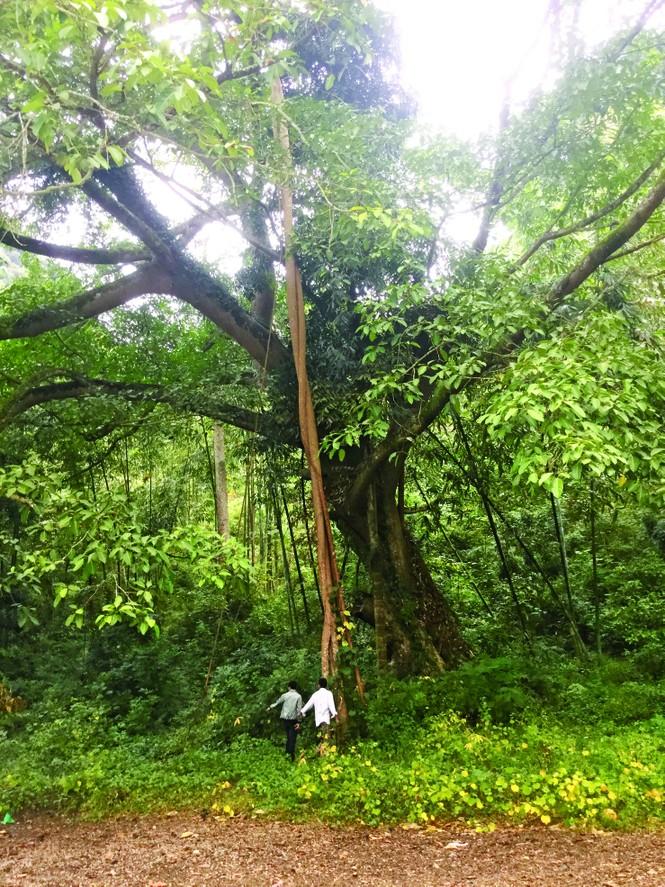 Kỳ lạ rừng nghiến Đông Đằng - ảnh 1