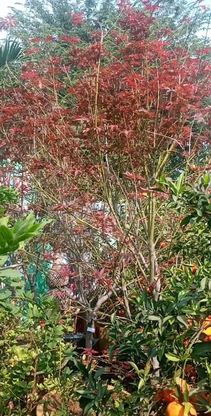 Cùng trồng tại Hà Nội, vì sao có cây phong lá đỏ, cây lại chết rụi? - ảnh 1