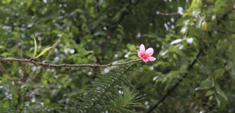 Những người dân địa phương cho biết, năm nào cây đào lạ này cũng nở hoa vào dịp tháng 9, 10. Có thể một phần nguyên nhân là thời tiết ở La Pán Tẩn lạnh sớm hơn.