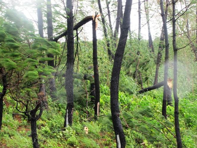 Rừng kinh tế phía bắc núi Phước Tượng (Phú Lộc) bị gió bão bẻ vụn