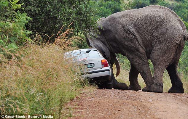Đi du lịch, bị voi năm tấn húc đổ ôtô - ảnh 1
