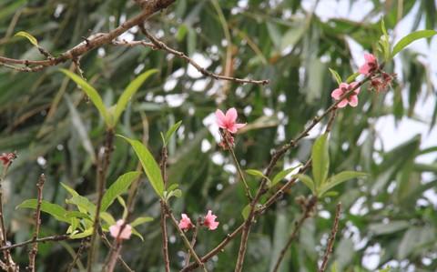 Ngắm hoa đào nở từ tháng 9 - ảnh 8