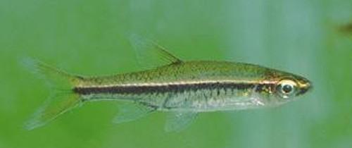 Phát hiện 12 loài cá nước ngọt mới ở Việt Nam - ảnh 4