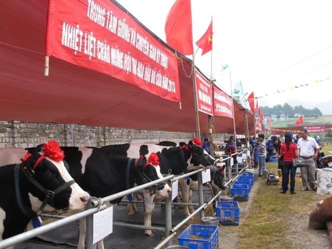 Giải thi năm nay, có trên 125 cô bò lọt vào vòng chung khảo
