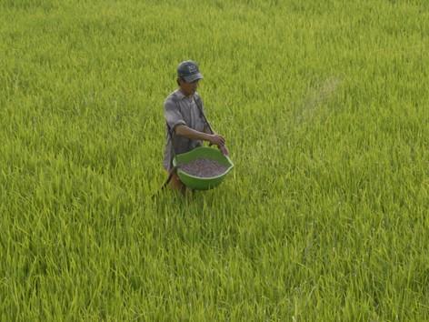 Nạn phân bón giả gây thiệt hại lớn cho nông dân. Ảnh: Phương Chăm