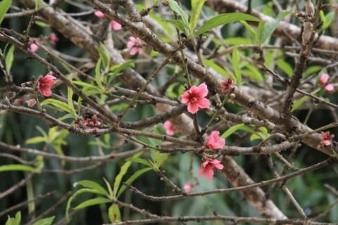 Ngắm hoa đào nở từ tháng 9 - ảnh 4