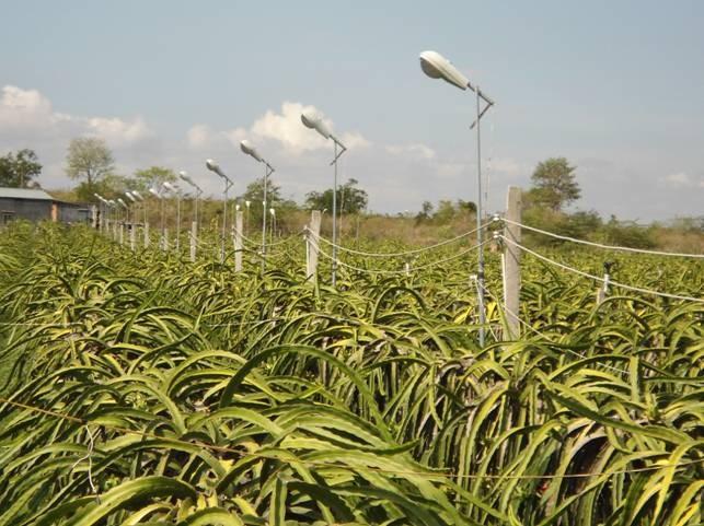 Vườn thanh long 1.700 trụ của ông Nguyễn Hữu Nghĩa (Vĩnh Long) sử dụng đèn cao áp thay cho đèn sợi đốt và đèn compact