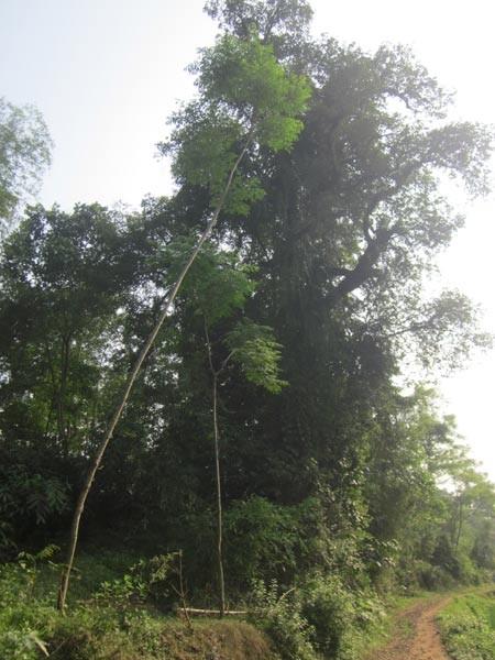 Một trong hai cây thị cổ thụ ở đồi Cây thị