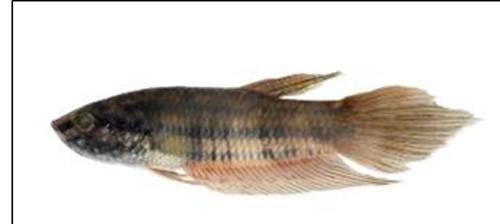 Phát hiện 12 loài cá nước ngọt mới ở Việt Nam - ảnh 6