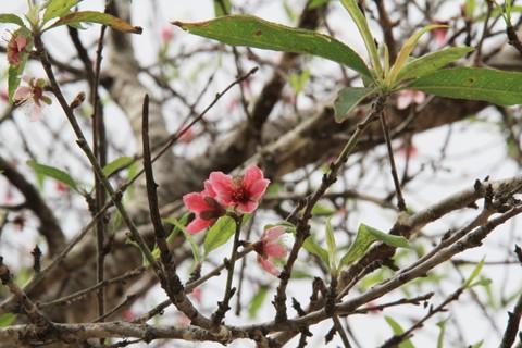 Ngắm hoa đào nở từ tháng 9 - ảnh 6