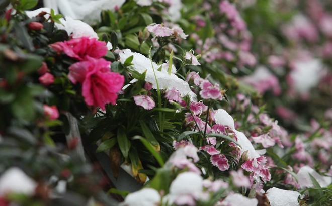 Một giỏ hoa trên phố Ngũ Chỉ Sơn len lỏi nở trong tuyết             Bài viết: http://news.zing.vn/Khach-du-lich-do-xo-len-Sa-Pa-trong-tuyet-trang-post377656.html#home_featured.noibat             Nguồn Zing News