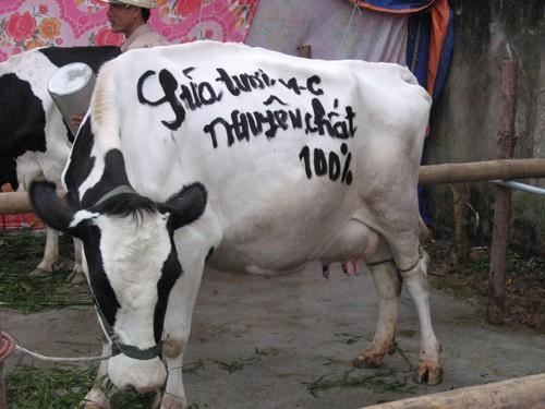 Người chăn nuôi bò ở Mộc Châu khẳng định thương hiệu sữa sạch, nguyên chất của mình trên chú bò dự thi Hoa hậu bò sữa do Cty tổ chức vào ngày 15-10 hàng năm.