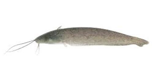 Phát hiện 12 loài cá nước ngọt mới ở Việt Nam - ảnh 11