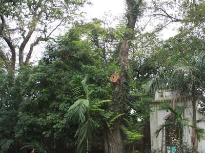 Một trong 2 cây gỗ sưa bị chặt cành đem bán ở thôn Phụ Chính