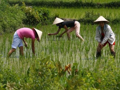 Nạn phân bón giả gây thiệt hại lớn cho nông dân. Ảnh: hồng vĩnh