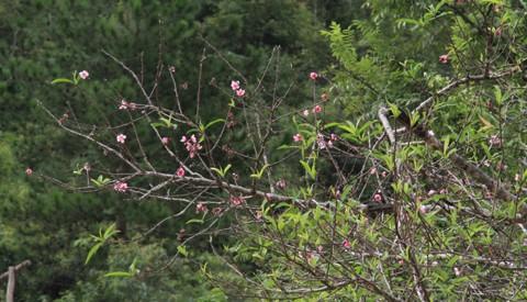 Ngắm hoa đào nở từ tháng 9 - ảnh 3
