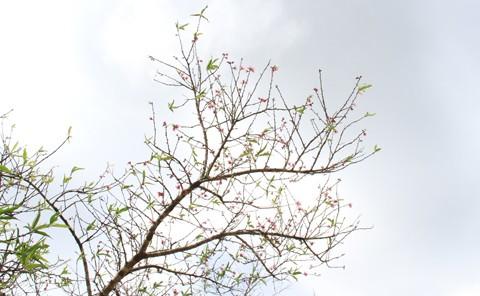 Những chùm hoa đào đã nở rộ, dù còn mấy tháng nữa mới đến Tết