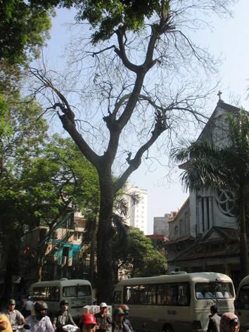Một cây chết khô từ lâu trên phố Nguyễn Biểu (quận Ba Đình) chưa được chặt bỏ. Ảnh: Thanh Hùng