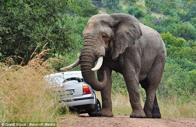 Đi du lịch, bị voi năm tấn húc đổ ôtô - ảnh 2
