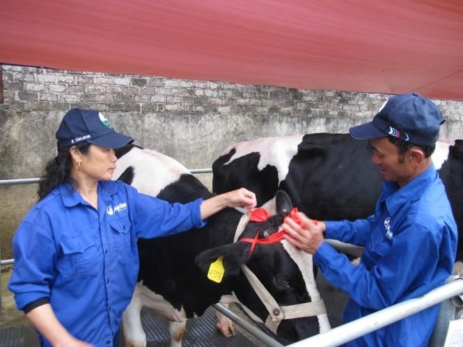 Các cô bò được sấy, chải cho lông mượt, thắt nơ trước khi vào trình diễn