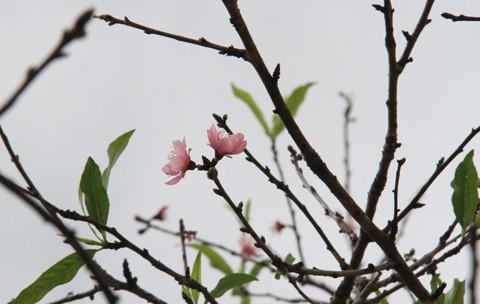 Ngắm hoa đào nở từ tháng 9 - ảnh 7