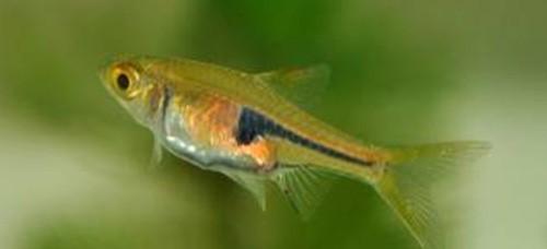 Phát hiện 12 loài cá nước ngọt mới ở Việt Nam - ảnh 5